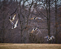 Mallard Ducks in flight at the Sourland Mountain Preserve. Image taken with a Nikon D300 camera and 80-400 mm VR lens (ISO 360, 400 mm, f/8, 1/250 sec).