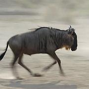 Wildebeest (Connochaetes taurinus) Running during migration. Serengeti National Park. Tanzania. Africa. February.