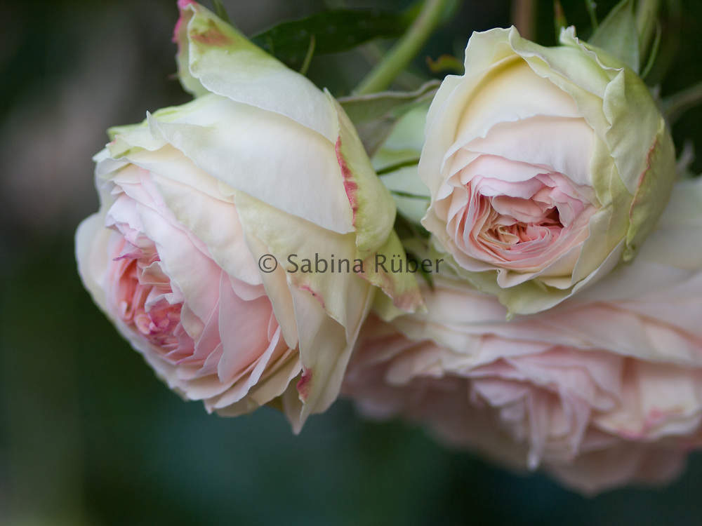 Rosa 'Eden' (also known as 'Pierre de Ronsard', 'MEIviolin', and 'Eden Rose 85') - climbing rose