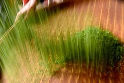THEMENBILD - Bei der traditionellen Produktion von Schwarztee, orthodoxe Teeproduktion genannt, durchlaufen die Teeblätter fünf Stufen: das Welken (Withering), damit die Blätter weich und zart werden, das Rollen (Rolling), das Aussieben, die Oxidation und zum Schluss die Trocknung (Firing). Um die Blätter nach dem Pflücken zu erweichen, wurden sie früher zwei Stunden in die Sonne gelegt. Später verwendete man Welkhürden in speziellen Hallen, in denen eine Temperatur von 20 bis 22 °C herrschte. Der Welkprozess dauerte dann bis zu 24 Stunden. Heute werden meistens so genannte Welktunnel eingesetzt, die die Teeblätter auf Fließbändern durchlaufen. Die Stärke der Welkung wirkt sich (im umgekehrten Verhältnis) auf den Grad der später erzielbaren Oxidation aus. Aufgenommen in Zhongcunba am 7. April 2016 // A worker removes impurities from the tea leaves in Zhongcunba Village of Xuan'en County, central China's Hubei Province, April 7, 2016. EXPA Pictures © 2016, PhotoCredit: EXPA/ Photoshot/ Song Wen<br /> <br /> *****ATTENTION - for AUT, SLO, CRO, SRB, BIH, MAZ, SUI only*****