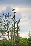 Kolonia kormoranów na Wysokim Ostrowie (zwanym również Wyspą Kormoranów) na Jeziorze Dobskim.