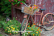 63821-22303 Old bicycle with flower basket next to old outhouse garden shed.   Red Wing Begonias in window box,  Zinnias, Snapdragons  (Antirrhinum sp.) below Marion Co., IL