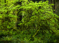 Fresh forest greens, vine maple and sword ferns in the Queets Rainforest, Olympic National Park, WA, USA