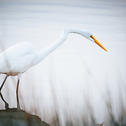 A great egret fishes in a lagoon near the coast in Destin, Florida.