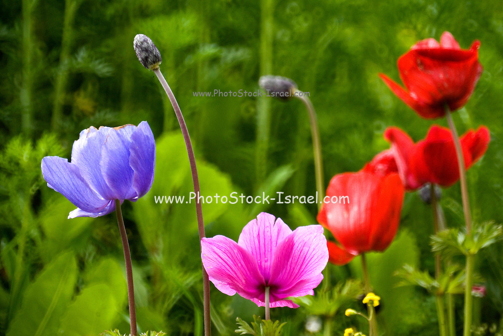 Israel, Red Purple and mauve Anemone coronaria, Poppy Anemone, growing in their natural habitat spring 2007