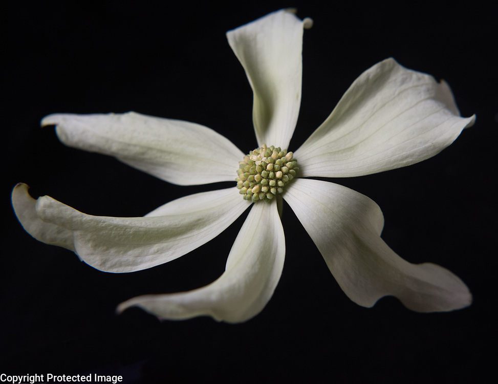 Until we moved to the Seattle area, I didn't know there were so many different kinds of dogwood flowers. This one was unknowingly given to me a neighbor. It's OK when the tree hangs over the sidewalk, right?