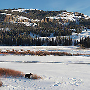 Moose (Alces alces shirasi) in the upper Lamar Valley. Yellowstone National Park, Montana