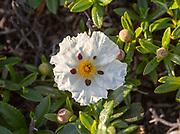 Close up of Gum cistus plant, Cistus ladanifer, flower, Atlantic coast, Algarve, Portugal, southern Europe