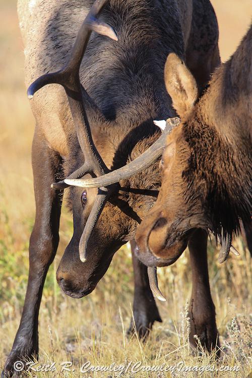 Two bull elk battle for dominance during the autumn rut. Bull elk with broken antler battles another bull and endangers his already injured left eye.