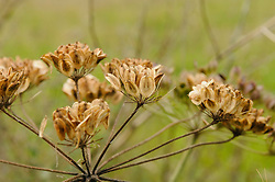 Gewone berenklauw, Heracleum sphondylium