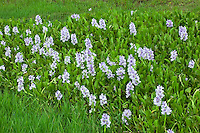 The invasive water-hyacinth while beautiful, clogs many wetlands and canals and is now designated as a federal noxious weed.