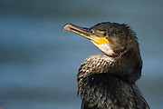 Amazing bird to watch when fishing. This is a very common and widespread bird species. It feeds on the sea, in estuaries, and on freshwater lakes and rivers.