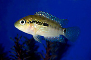 Close-up of a Blue acara or Blue acara cichlid (Andrinocara pulcher) swimming in an aquarium at the King's Lynn Koi Centre Norfolk captive