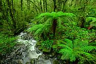 Oceania, New Zealand, Aotearoa, South Island, Te Anau, Southland, Fiordland National Park, Tree fern