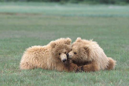 Alaskan Brown Bear, (Ursus middendorffi)  Cubs resting. Katmai National Park. Alaska.