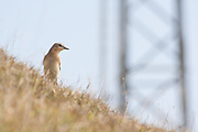 Wheatear beside the nautical mile marker posts at Durlston near Swanage, Dorset, UK.