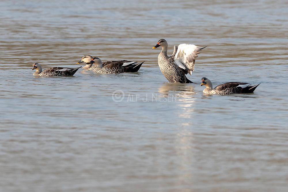 Group of Indian spot-billed ducks (Anas poeciloryncha) in Kaziranga National Park, Assam, north-east India.