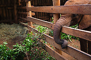 Orphaned elephant calf (Loxodonta africana) at the David Sheldrick Wildlife Trust orphanage for elephant orphans, in his stall.These young elephant calves were orphaned after their mothers were poached for their ivory, Nairobi, Kenya