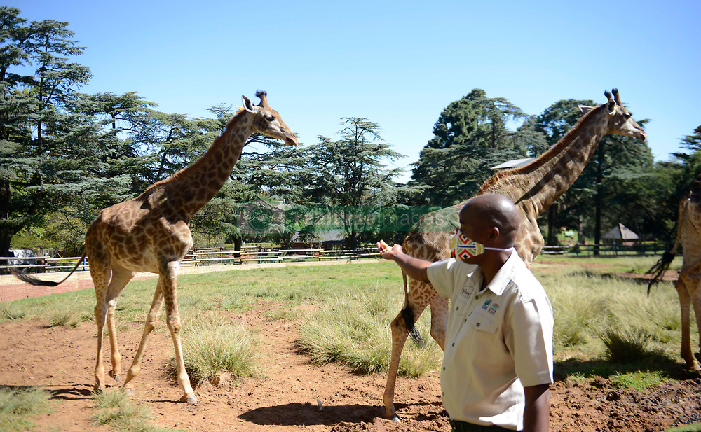 South Africa – Johannesburg – Animal welfare at the Joburg zoo. Following many concerns about wildlife animals at the zoo on social media, we pay the zoo a visit to check up on their daily operation and though the staff rotate to maintain lock down regulation and social distance we found that the animal are not neglected by staff however miss visitors as a result. One of the staff Richard gives carrots to some of the giraffes who eat out of his hands.<br />  Picture: Timothy Bernard/African news Agency(ANA)