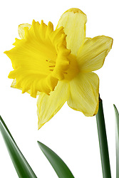 Narcissuss Yellow Daffodil
