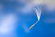 A single wind dispersed seed from a western salsify (Tragopogon dubius). This small, parachute like seed will be able to travel great distances on wind currents.