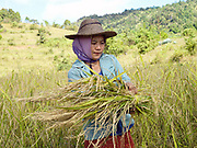 Harvesting rice in the ethnic Kayan village of Panpet, Kayah State, Myanmar on 14th November 2016