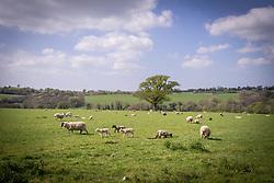 Sheep, Great Bidlake, Devon UK