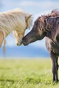 Icelandic Horses caressing each other. Painteffect added | Islandshester som kjærtegner hverandre. Malerisk effekt er lagt til.