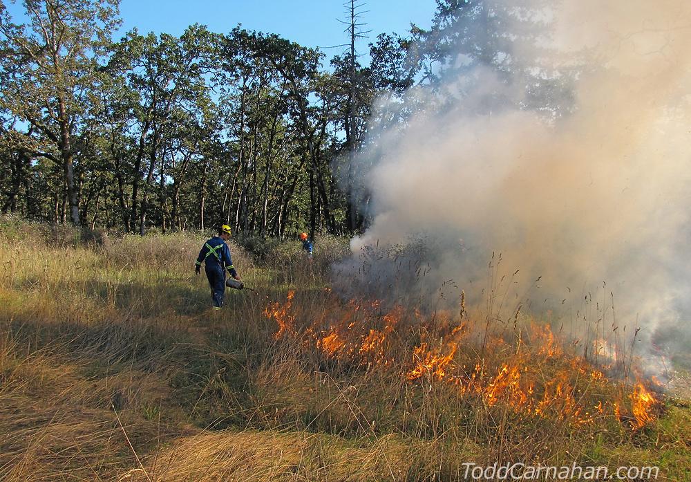Prescribed burning in a Garry Oak Meadow to restore native biodiversity