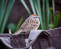 Chipping Sparrow on a planter. Image taken with a Nikon D5 camera and 600 mm f/4 VR lens (ISO 1600, 600 mm, f/4, 1/640 sec)