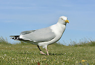 Herring Gull - Larus argentatus - Summer Adult.  L 56-62cm. Noisy, familiar bird and our most numerous large gull species. Often follows boats. Bold when fed regularly. Sexes are similar. Adult in summer has blue-grey black and upperwings, with white-spotted, black wingtips; plumage is otherwise white. Legs are pink, bill is yellow with orange spot, and eye is yellow with orange-yellow ring. In winter, similar but with dark streaks on head and nape. Juvenile and 1st winter are mottled grey-brown with streaked underparts. Legs are dull pink, bill is dark and spotted pale tail has dark tip. Adult plumage acquired over 3 years. 2nd winter bird is similar but has grey back and grey areas on upperwing. Tail is white with dark tip. 3rd winter resembles winter adult but has more black on wingtips and hint of dark tail band. Voice Utters distinctive kyaoo and anxious ga-ka-ka. Status Common, mainly coastal in summer, nesting on seacliffs and in seaside towns. Widespread and more numerous in winter due to migrant influx.