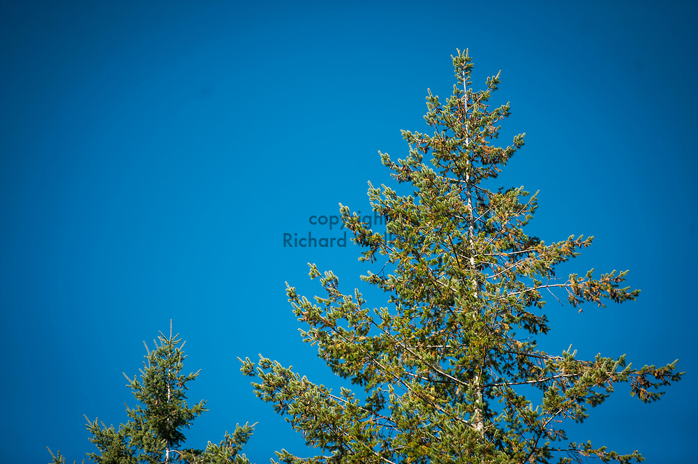 2017 OCTOBER 27 - Pine trees against a blue autumn sky near Snoqualmie Falls, WA, USA. By Richard Walker