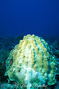 partially bleached small star coral, <br /> Montastrea annularis,Tavernier,<br /> Florida Keys ( Western Atlantic Ocean )