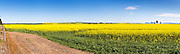 Flowering canola crop in rural farm paddock under blue sky near Willaura, country Victoria, Australia. <br />
