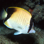 Reef Butterflyfish flit about reefs, often in pairs in Tropical West Atlantic, but rare in central and western Caribbean; picture taken Juipter, FL.