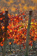 La Clape. Languedoc. Domaine Mas du Soleilla. Vine leaves. The vineyard. Bright and vibrant red and yellow autumn winter colours. France. Europe.