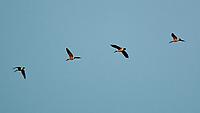 Canada Goose (Branta canadensis). Image taken with a Nikon 1 V3 camera and 70-300 mm VR lens.