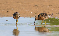 Two Long-billed Dowitchers, Limnodromus scolopaceus, feeding in shallow water at the edge of a lake in the Riparian Preserve at Water Ranch, Gilbert, Arizona