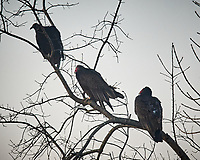 Turkey Vulture. Image taken with a Nikon D5 camera and 600 mm f/4 VRII lens