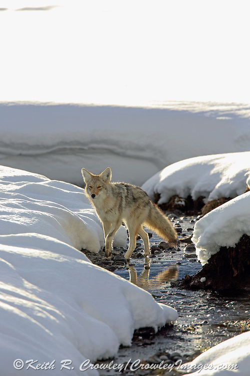 Coyote Walking in a Stream Bed in Winter