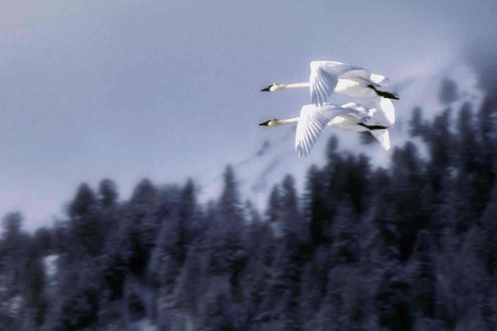 Trumperter swans (Cygnus buccinator), winter, Grand Teton National Park, Wyoming, USA