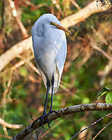 Great Egret (Ardea alba). Clyde Butcher Swamp Bungalow. Image taken with a Nikon D4 camera and 80-400 mm VRII lens.