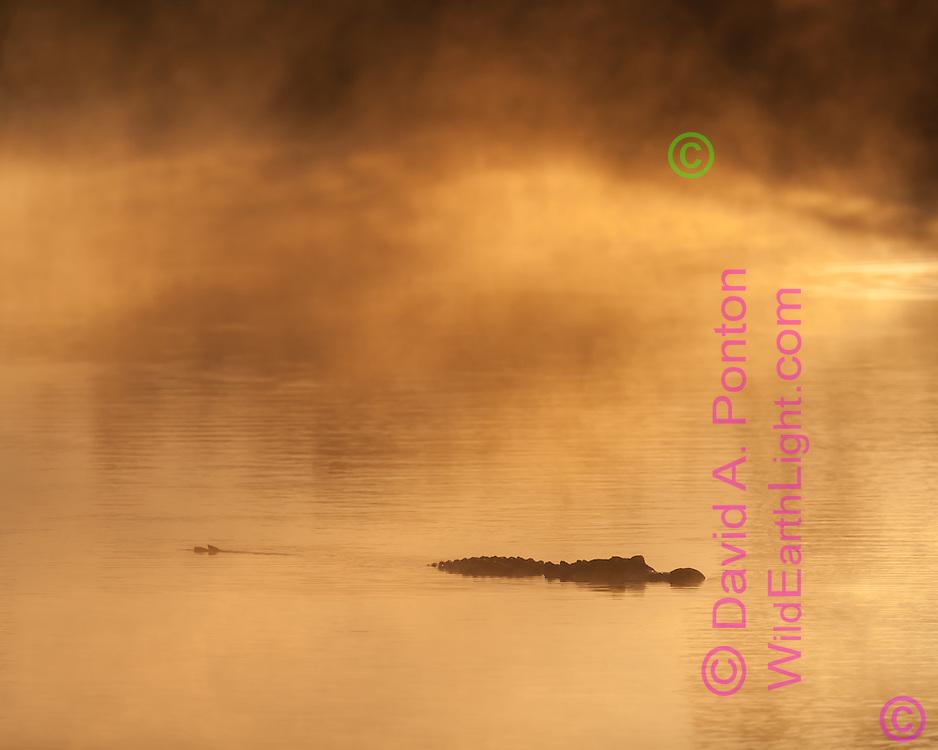 Sunrise light on misty pool in Everglades National Park, with alligator, © David A. Ponton