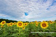 63801-11110 Sunflowers in field Jasper Co.  IL