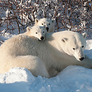Polar bear (Ursus maritimus) mother two and cubs. Hudson Bay, Manitoba, Canada