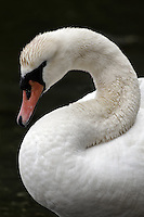 Knoppsvane (Cygnus olor) er en stor fugl i andefamilien - The Mute Swan (Cygnus olor) is a species of swan, and thus a member of the duck, goose and swan family Anatidae.