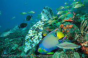 A variety of tropical fish, including a Queen Angelfish, Holacanthus ciliaris, and Scrawled Filefish, Aluterus scriptus, among others, feed on the eggs of Brown Chromis, Chromis multilineata, on a coral reef offshore Palm Beach, Florida, United States. Image available as a premium quality aluminum print ready to hang.