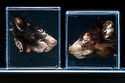 Preserved Tasmanian devil samples on display at the Menzies Institute for Medical Research, the facility is working on a vaccine to help the devil fight the cancer. The devil on the left has a deformed mouth from a large tumour visible under the chin.