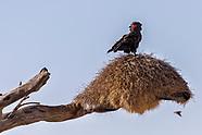BIRDS:  Africa
