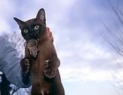 Person holding a small brown Burmese cat which has a mouse in its mouth against cloudy sky